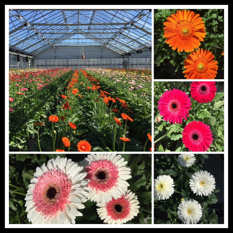 Gerbera Show Greenhouse