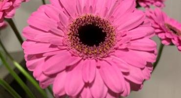 New gerbera varieties at Hoven & de Mooij